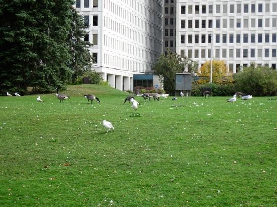 Möwen und Gänse - Seagulls and geese
