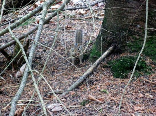 Streifenhörnchen - Chipmunk